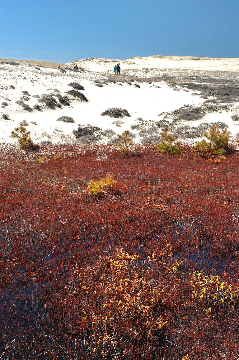 Cranberry bog in dunes near Snail Trail in Cape Cod. Provincetown, Massachusetts