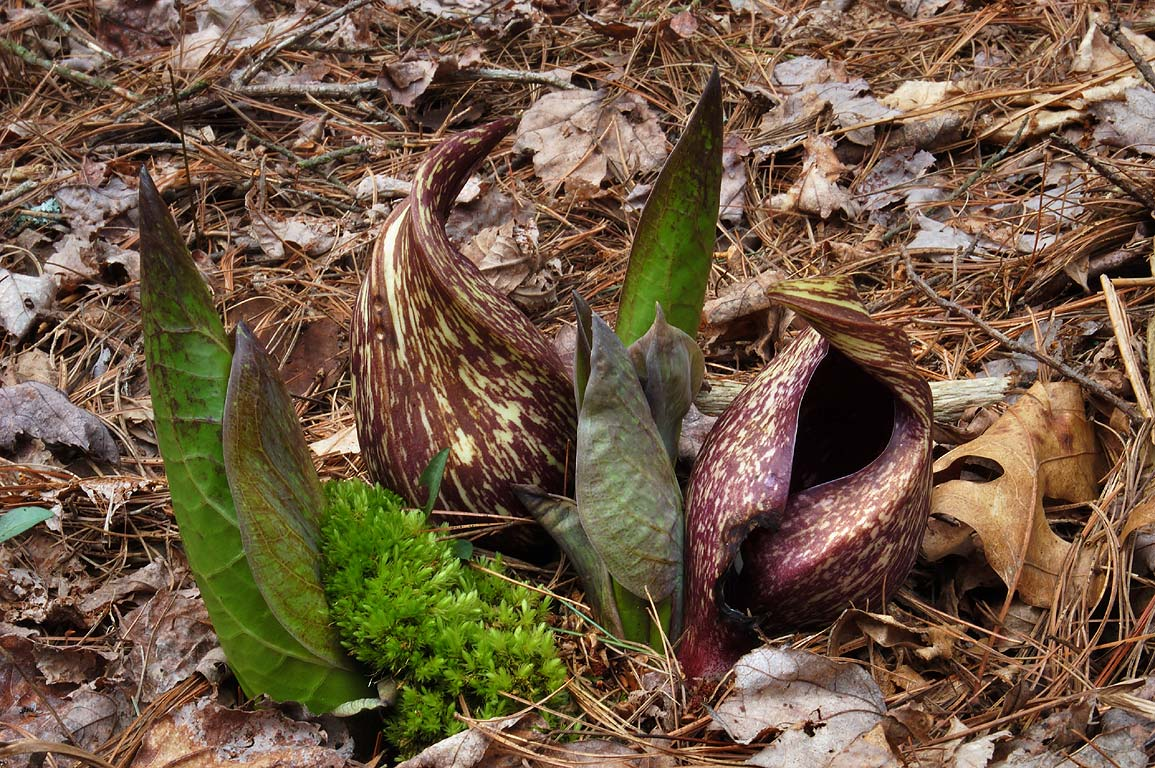 Flowers and sprouts of skunk cabbage in Massasoit State Park. Massachusetts
