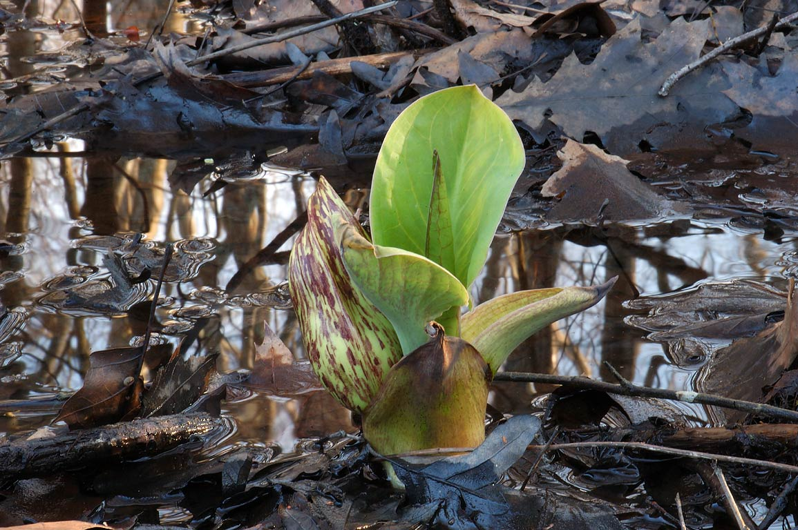 Skunk cabbage in Simmons Mill Pond Management Area. Adamsville, Rhode Island