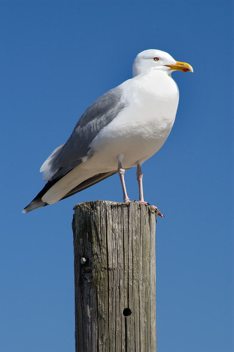 A gull near East Beach Rd. of Horseneck Beach. Westport, Massachusetts
