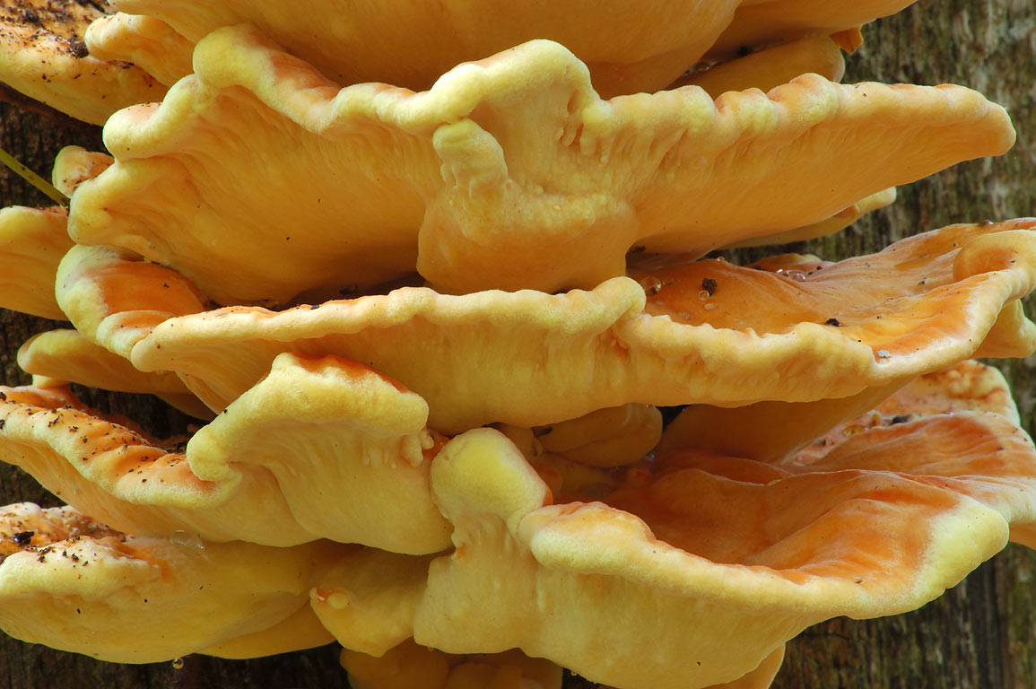 Chicken of the Woods' mushroom in Browning Mill Pond Recreation Area. Exeter, Rhode Island