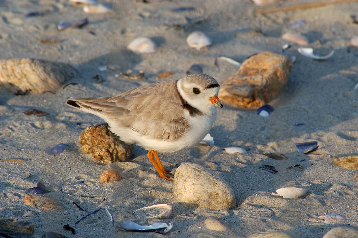 A piping plover in Demarest-Lloyd State Park. Dartmouth, Massachusetts