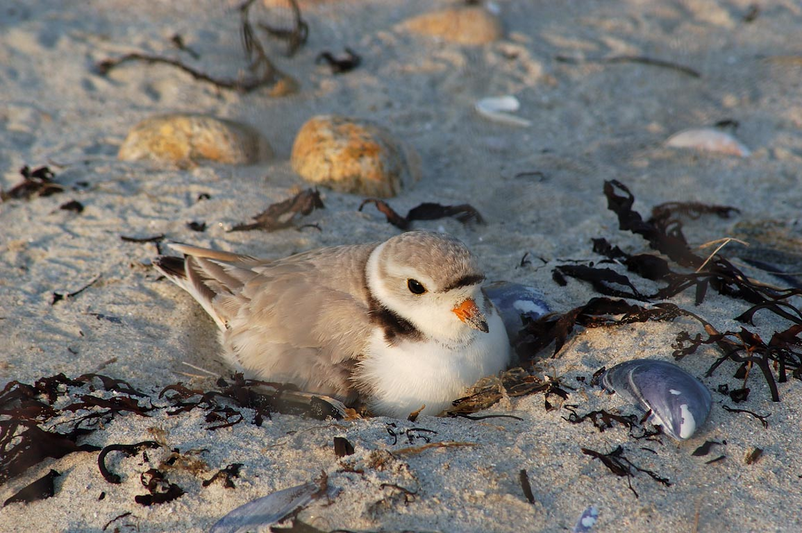 A nesting piping plover in Demarest-Lloyd State Park. Dartmouth, Massachusetts