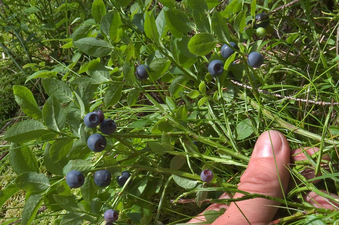 Wild blueberries in a forest near Oselki, 20 miles north from St.Petersburg. Russia