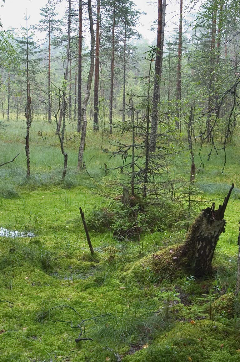 A bog near Lembolovo, 30 miles north from St.Petersburg. Russia