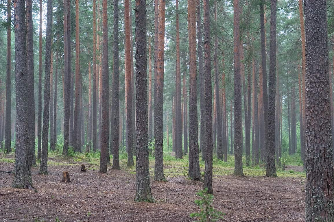 A pine forest north from Lembolovo at a popular...miles north from St.Petersburg. Russia