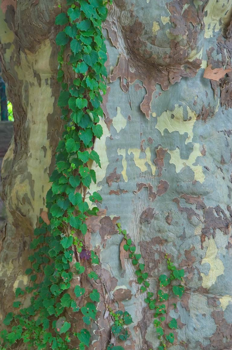 Sycamore's trunk on Bellevue Ave. in Newport. Rhode Island