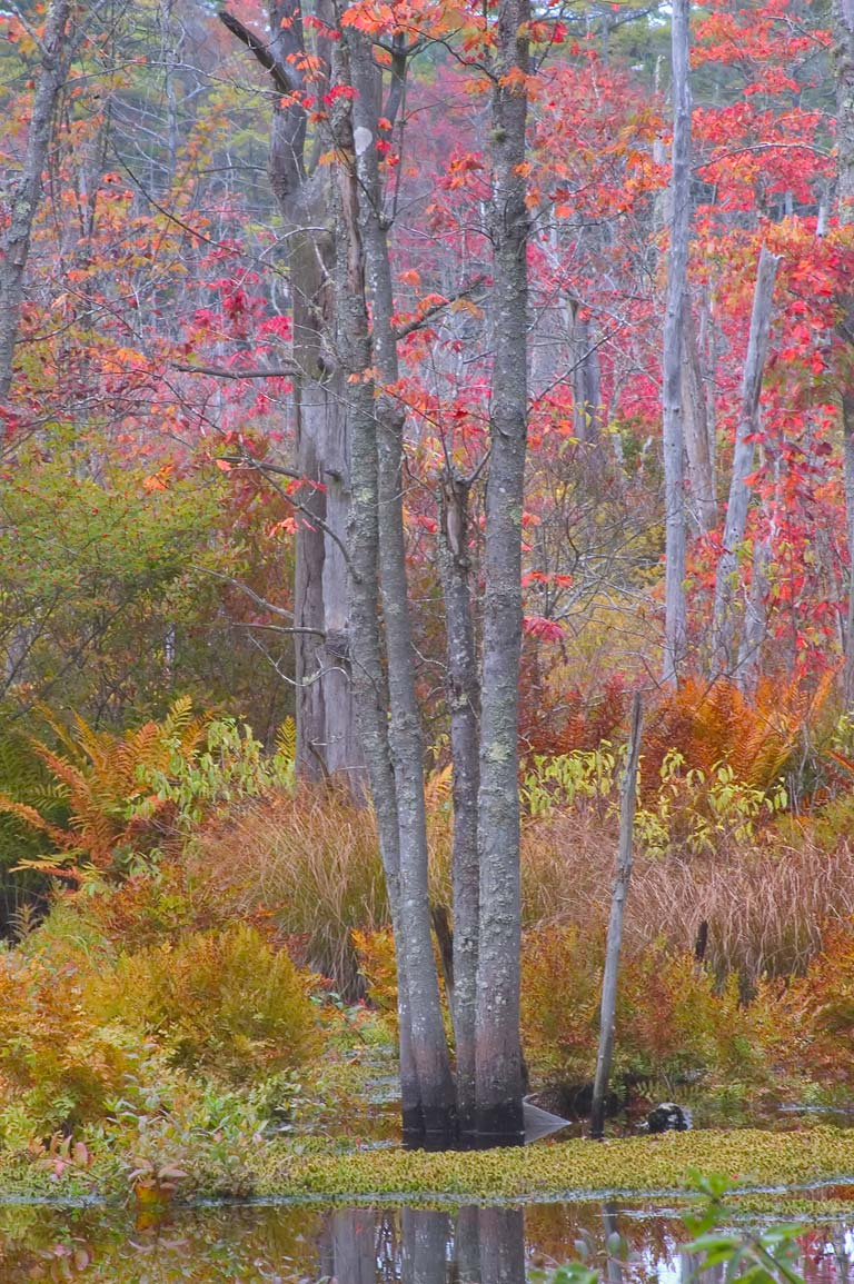 Red maple swamp of Mill Brook, view from Bell...Fall River State Forest. Massachusetts