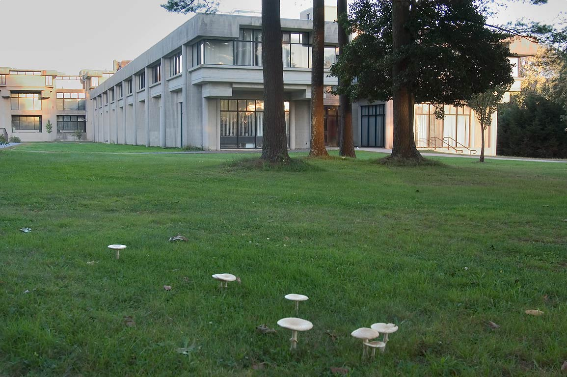 Toadstools grown on a lawn in front of Violette...of Massachusetts at Dartmouth