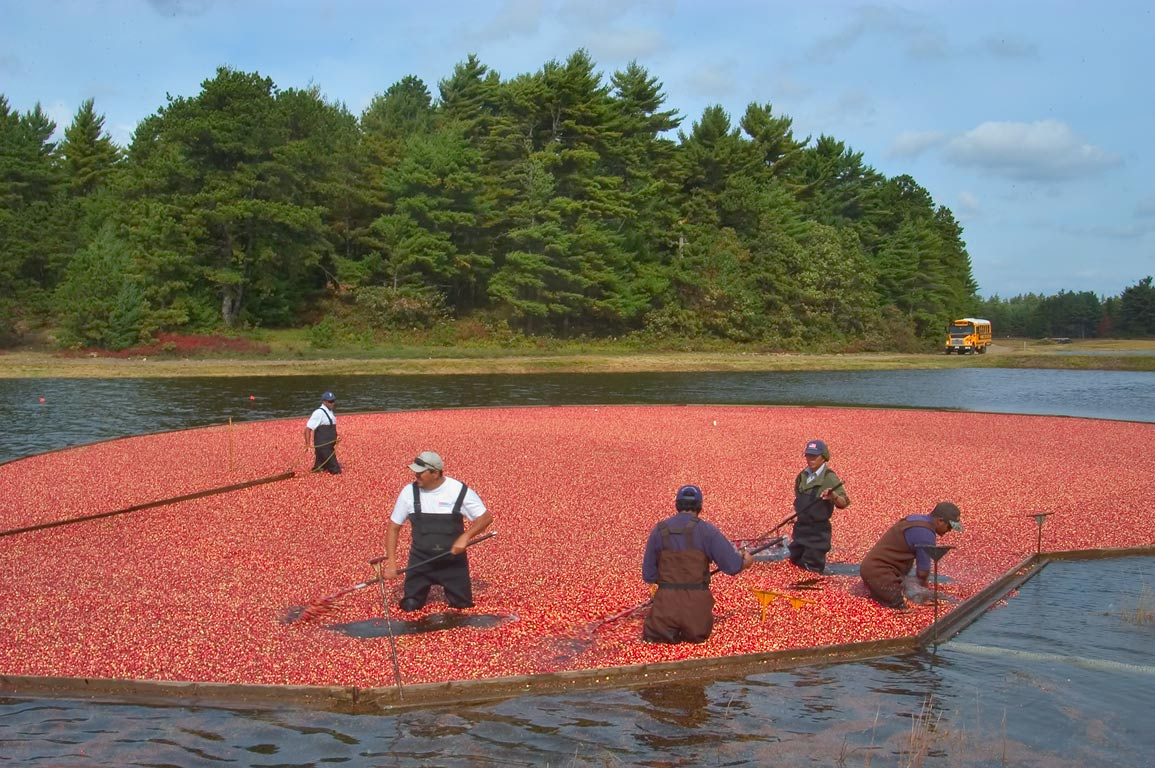 Pumping cranberry at one of Frogfoot Bogs during...Village. Wareham, Massachusetts