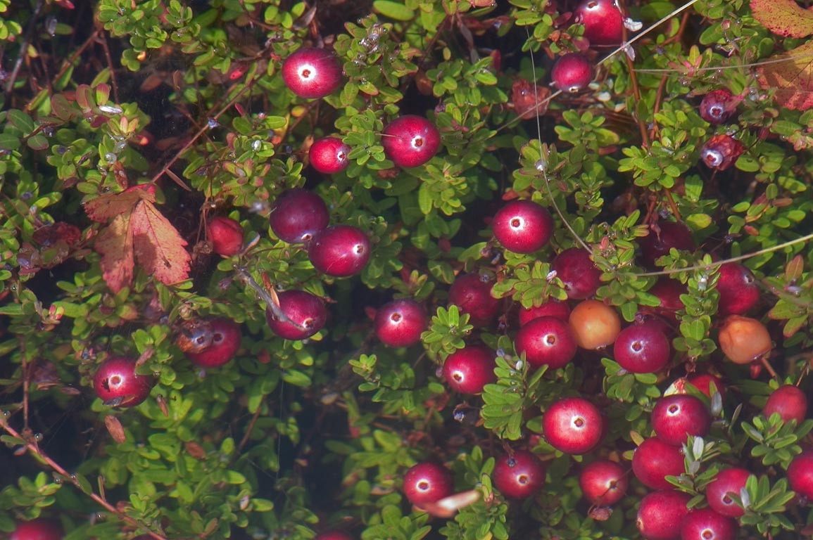Cranberry in flooded Frogfoot Bog near Tihonet Village. Wareham, Massachusetts