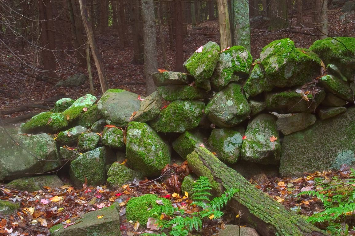 Abandoned stone wall in a dark fir forest near...in northern Fall River. Massachusetts