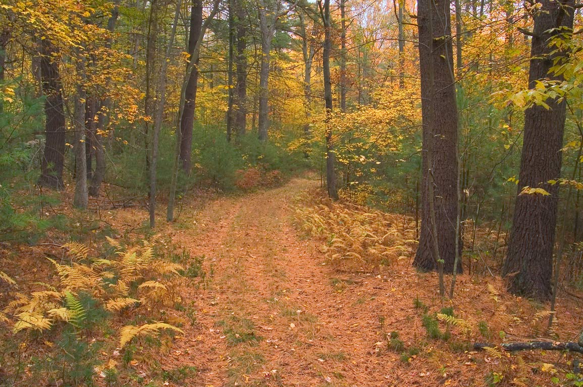 Fall colors of Donahue Trail in Freetown/Fall River State Forest. Massachusetts