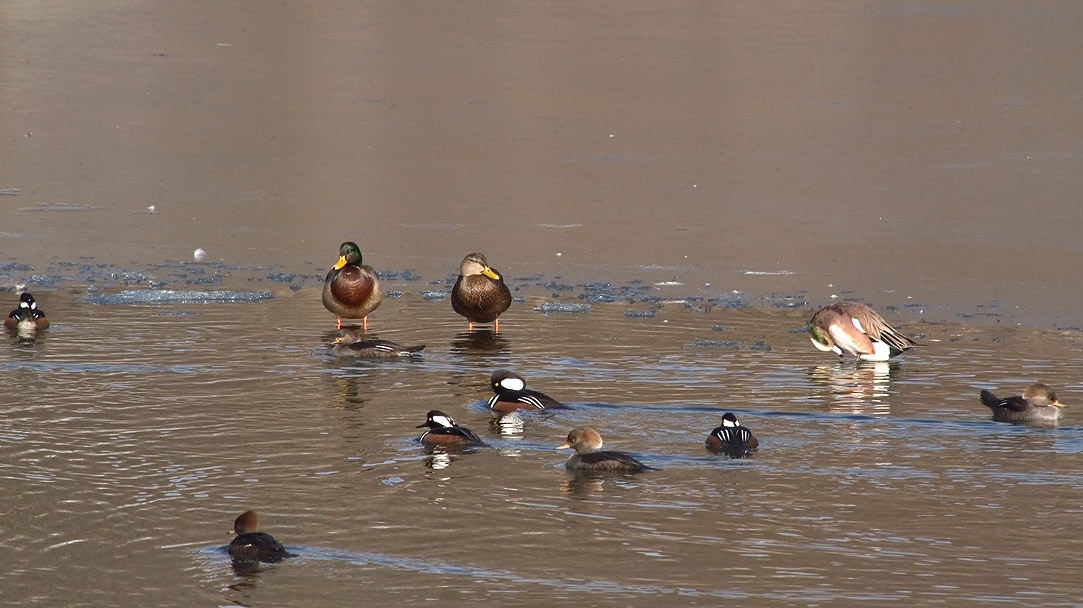 Various kinds of ducks (mallards, harlequins?) on...Bike Path. Providence, Rhode Island
