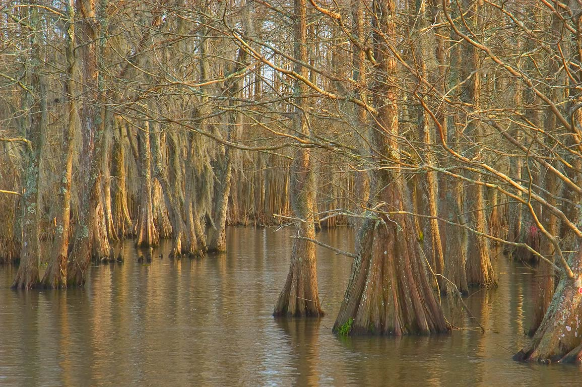 Cypress forest in Honey Island Swamp. Slidell, Louisiana
