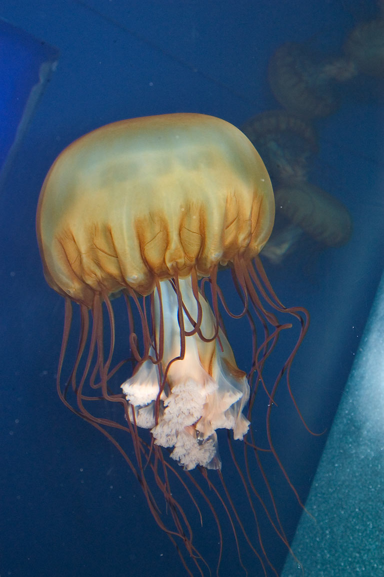 A jellyfish in Aquarium of the Americas. New Orleans, Louisiana