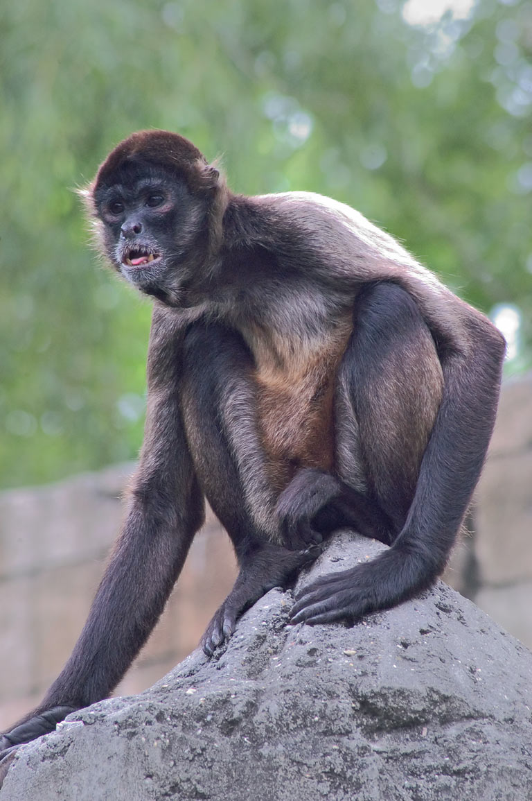 A sitting monkey in Audubon Zoo. New Orleans, Louisiana