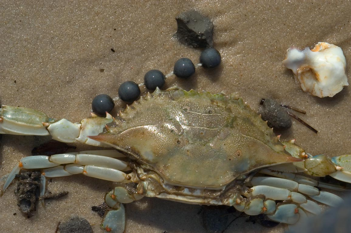 A crab and marine castoffs on a beach of Gulf of Mexico in Long Beach. Mississippi