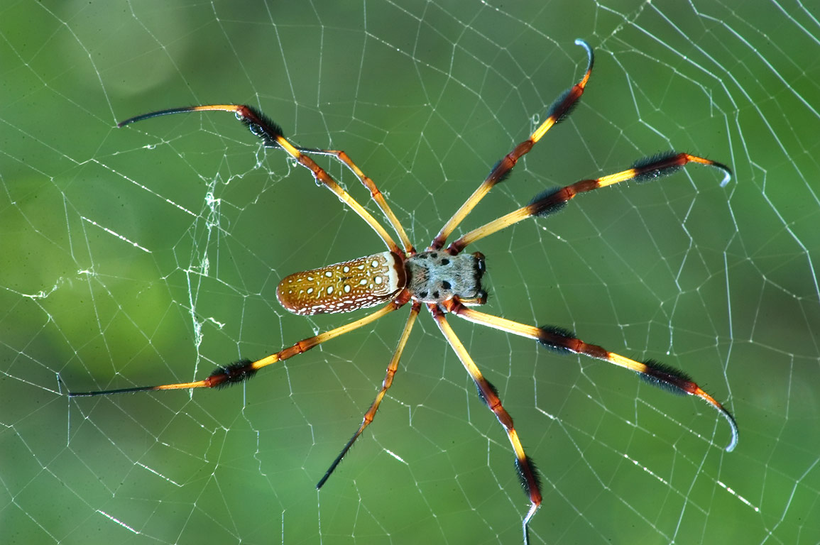 Golden silk spider (Nephila clavipes) on a net at...south from New Orleans. Louisiana