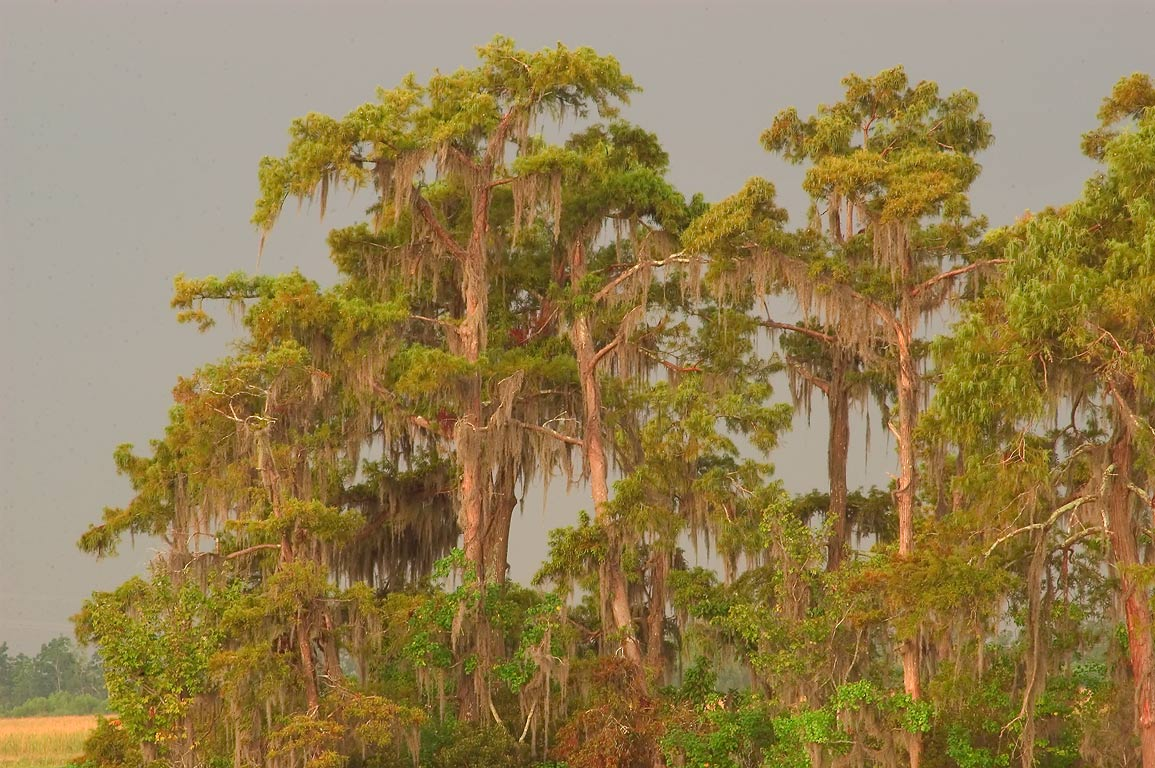 A group of cypress trees, from marsh overlook in...at morning. New Orleans, Louisiana