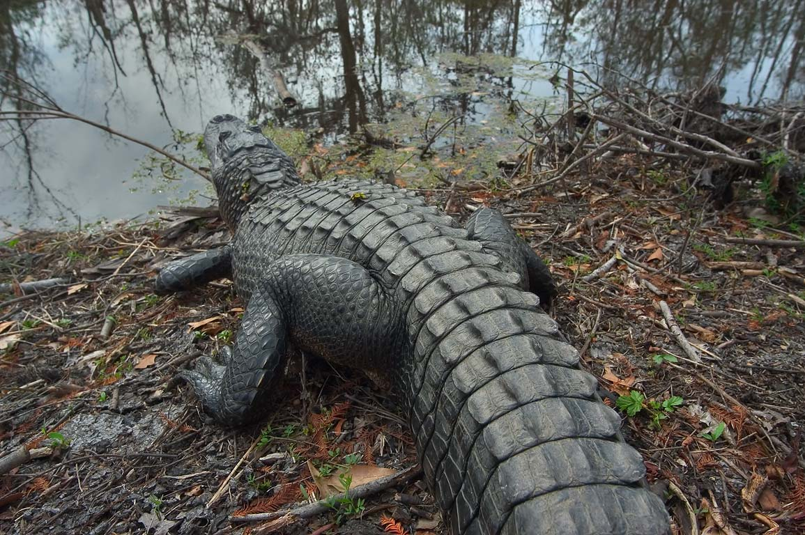An alligator warming near Marsh Overlook Trail in...south from New Orleans. Louisiana
