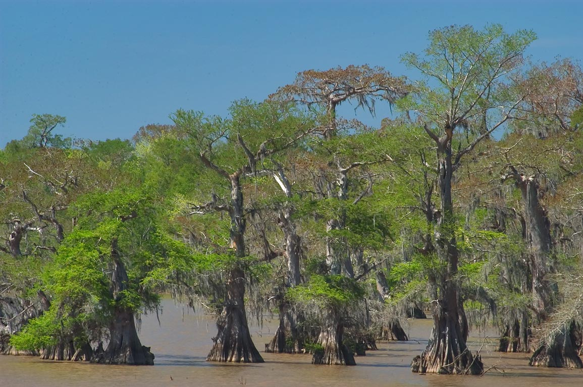 Cypress forest in Lake Fausse Pointe, view from Levee Rd., Iberia Parish. Louisiana