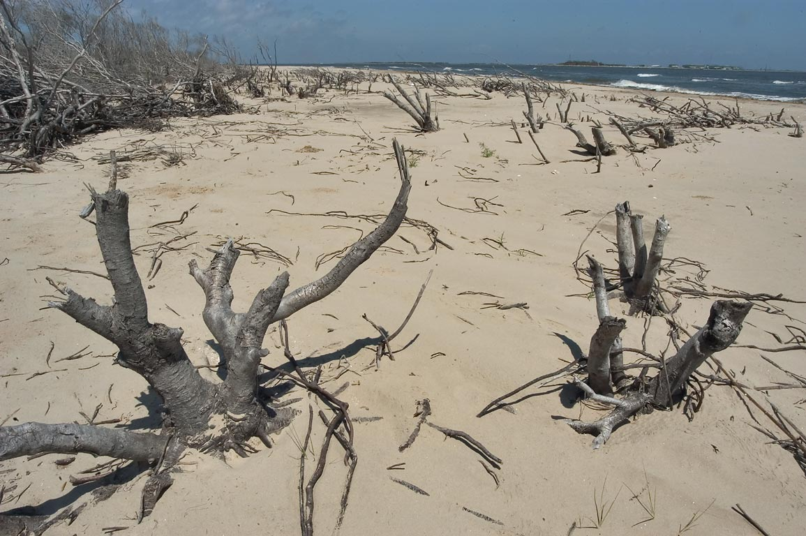 Remains of beach forest in Grand Isle State Park. Louisiana