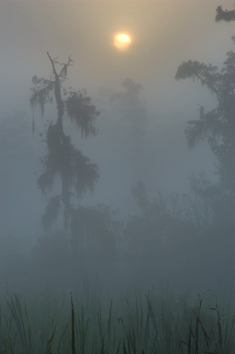 Misty cypress forest from Marsh Overlook Trail in...south from New Orleans. Louisiana
