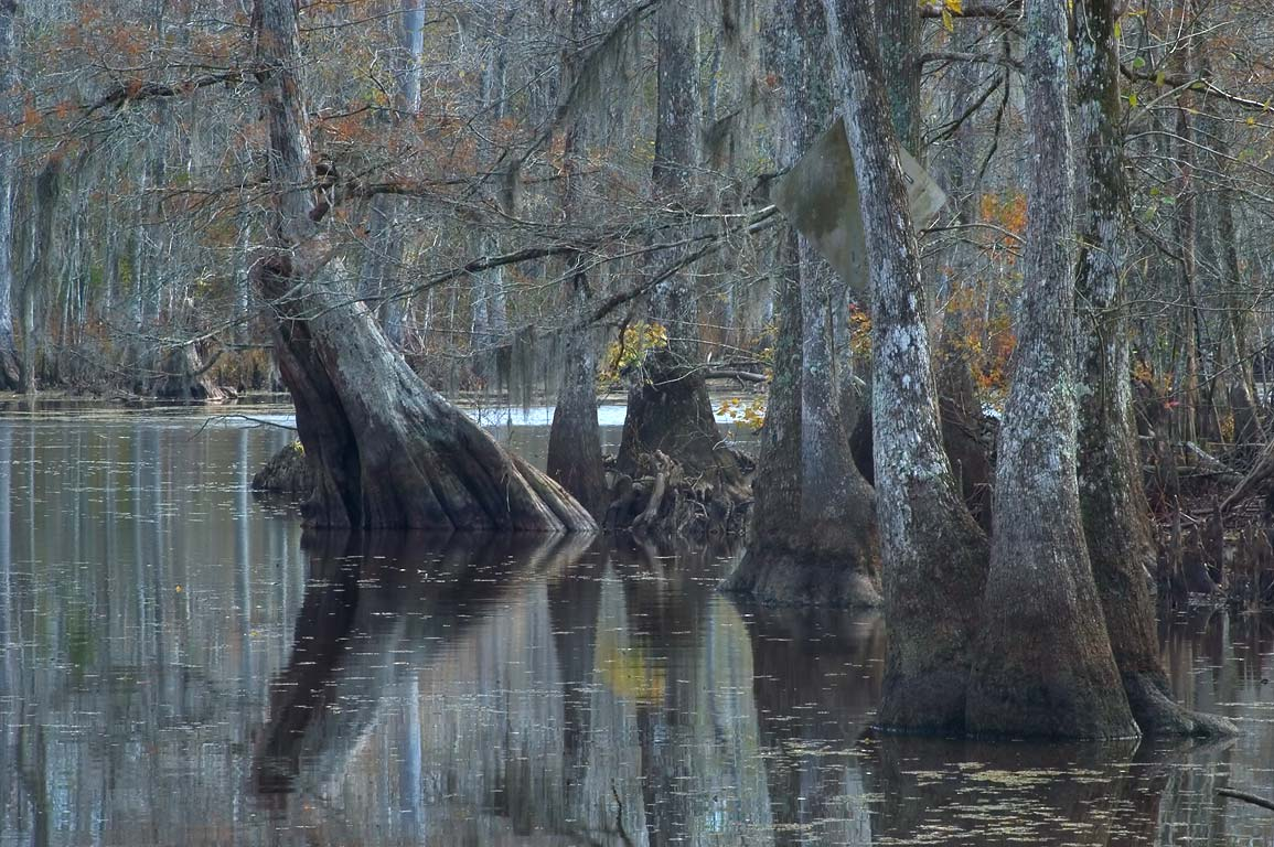 Water tupelo in Bayou Barbay, a tributary of...Maurepas. Livingston Parish, Louisiana