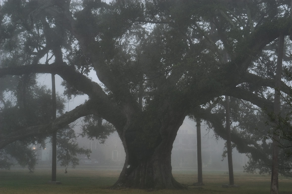 An oak No. 107 with props in City Park near City Park Ave. in fog. New Orleans, Louisiana