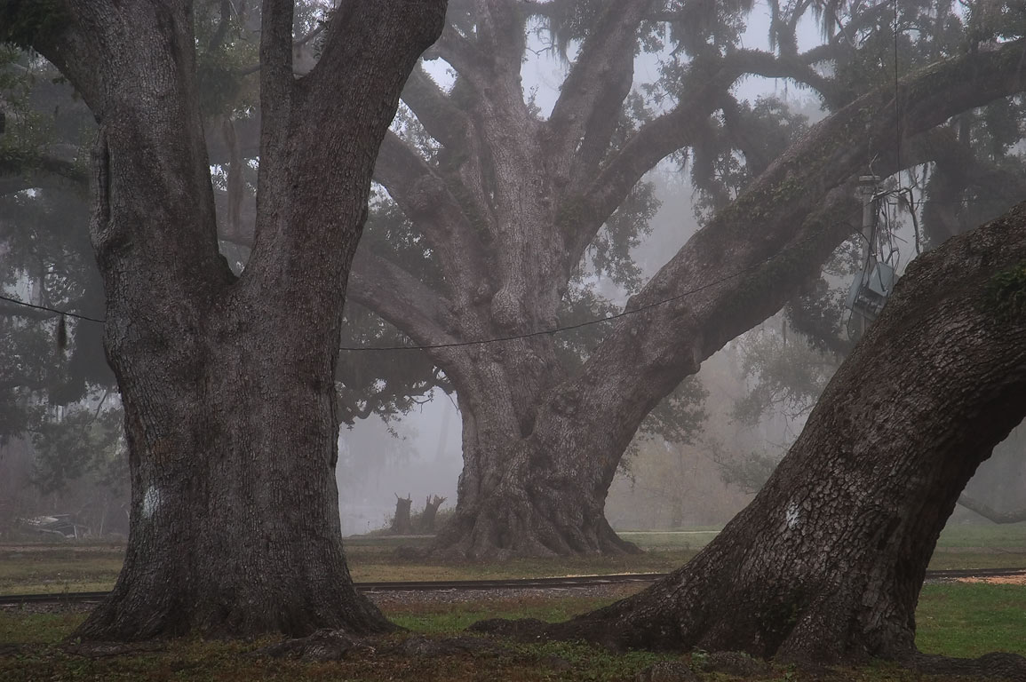 Live oaks No. , 101, and 89 in City Park near...morning in fog. New Orleans, Louisiana