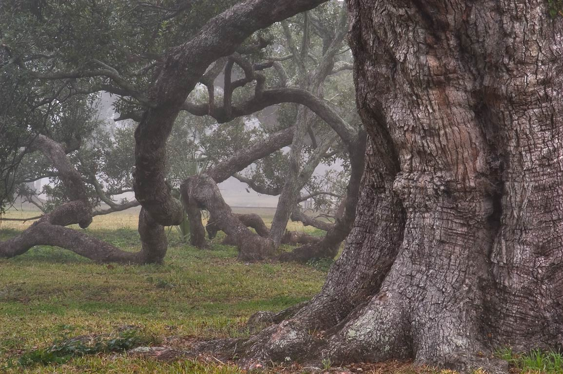 A big live oak No. 107 in City Park near City...morning in fog. New Orleans, Louisiana
