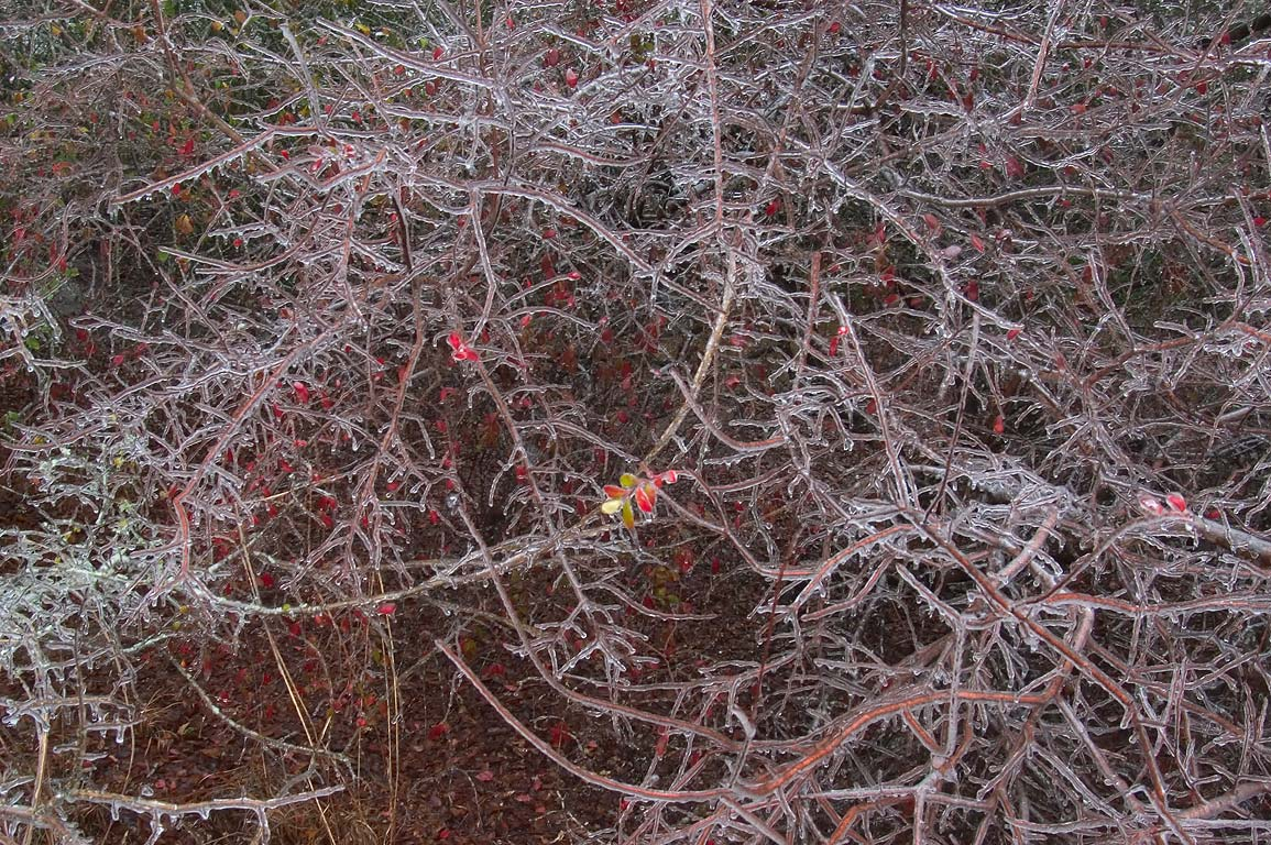 Icy bushes near Iron Bridge Trail in Lick Creek...ice storm. College Station, Texas