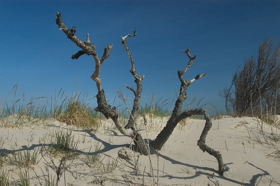A tree on dunes of north beach in Sandy Hook. New Jersey