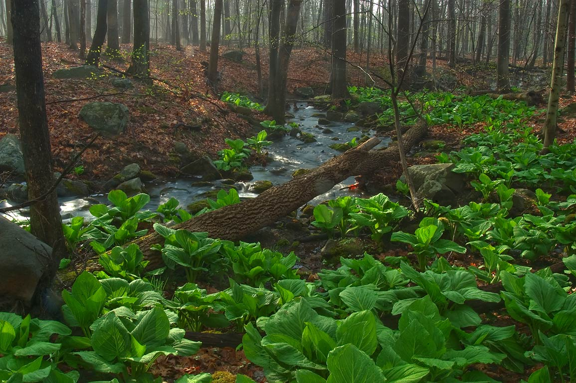 Skunk cabbage along a creek near northern...Woods park. Princeton, New Jersey