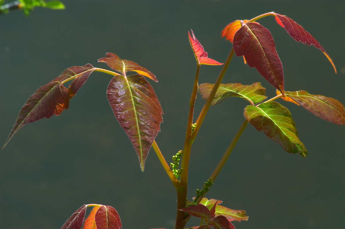 Poison Ivy in Delaware and Raritan Canal State...Carnegie Lake. Kingston, New Jersey