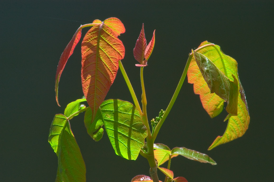 Colored young leaves of poison ivy in Delaware...Carnegie Lake. Princeton, New Jersey