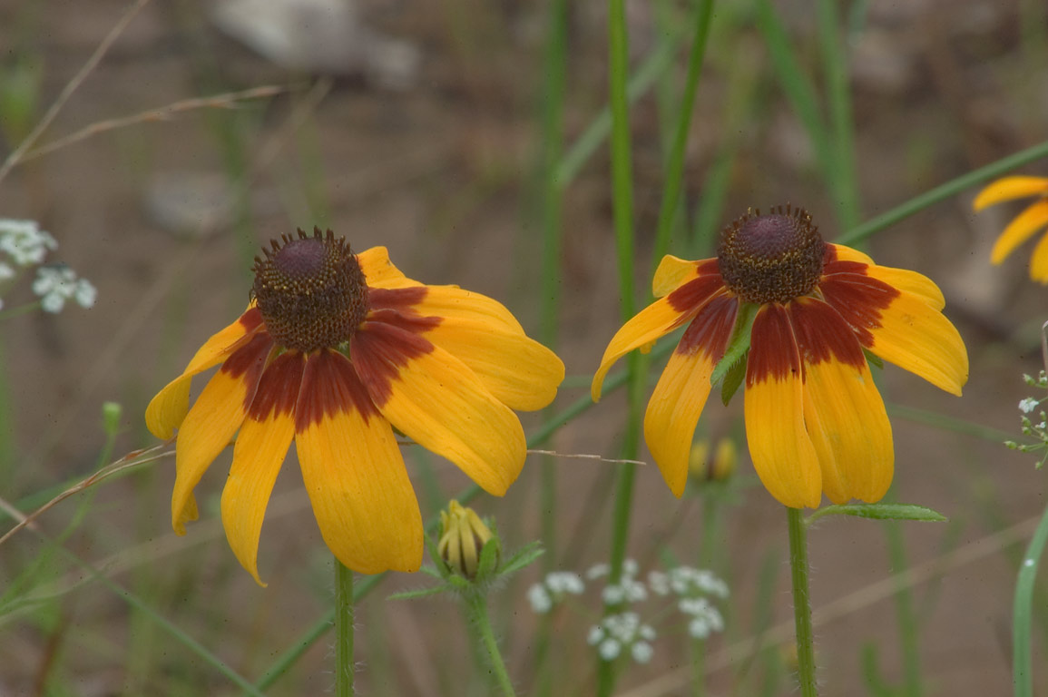 Black eyed susan flowers on the roadside of Iron...Creek Park. College Station, Texas
