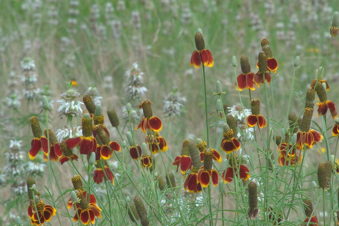 Mexican Hat wildflowers on roadside of loop trail...State Historic Site. Washington, Texas