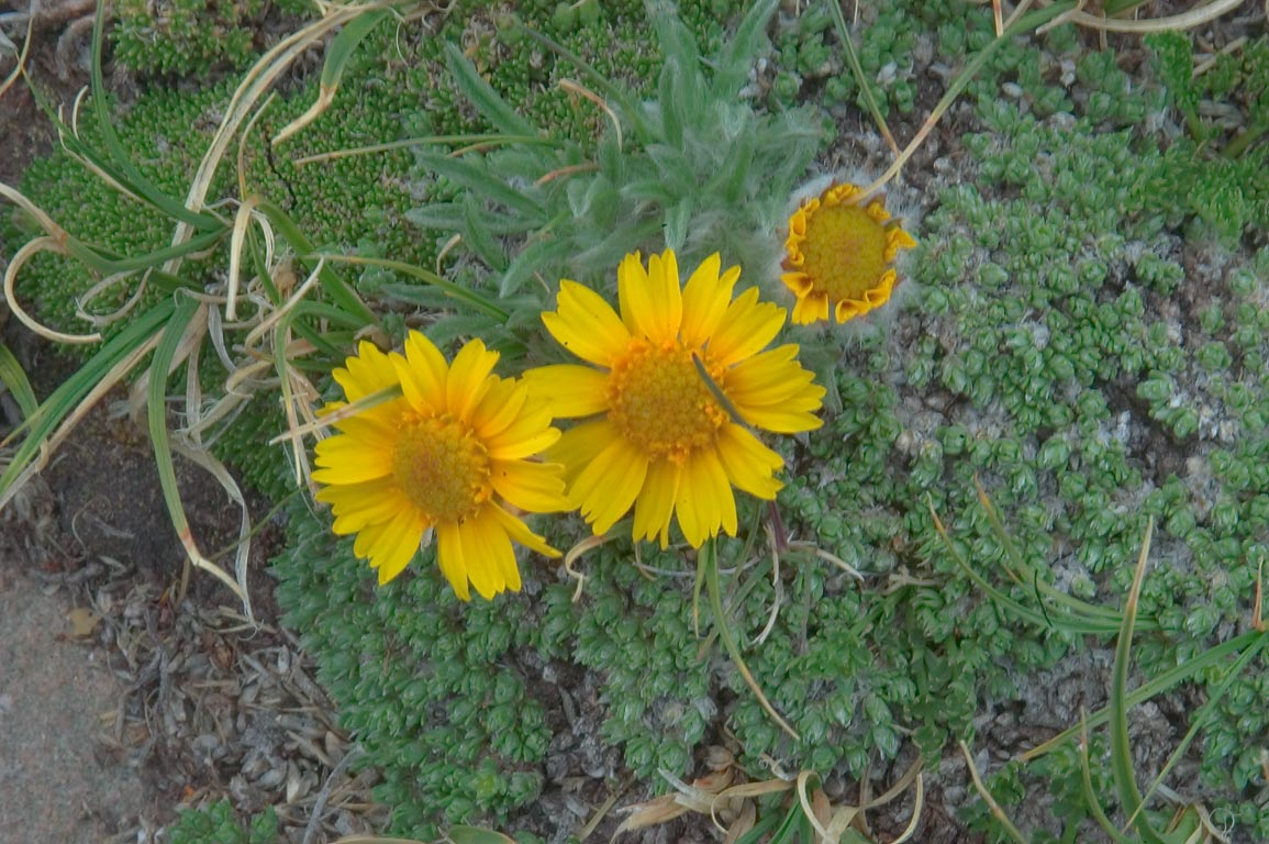 Dwarf sunflowers (Old-man-of-the-mountain...Sangre de Cristo Mountains. Colorado