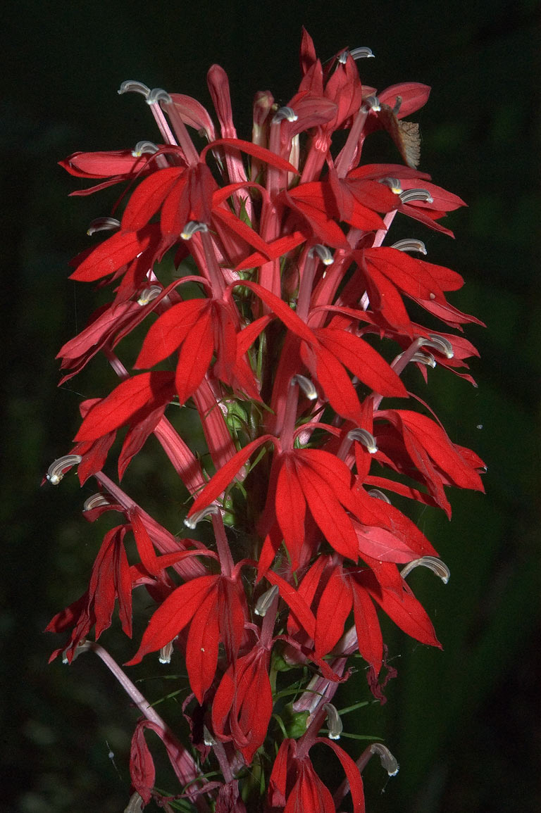 Cardinal flower (Lobelia cardinalis) near Caney...Forest, near Huntsville. Texas