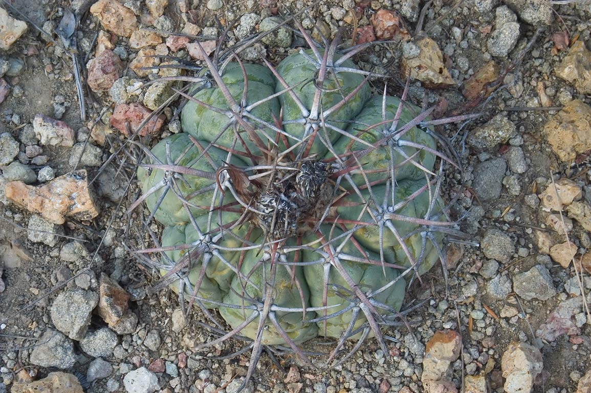 Echinocactus horizonthalonius (devil's head...Spring. Big Bend National Park, Texas