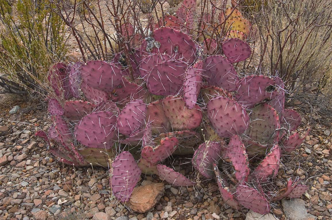 Purple-tinged prickly pear cactus on Smokey Creek...Big Bend National Park, Texas