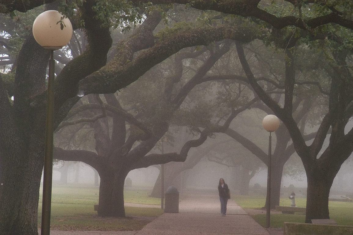 Oaks of Military Walk on campus of Texas A&M University in fog. College Station, Texas