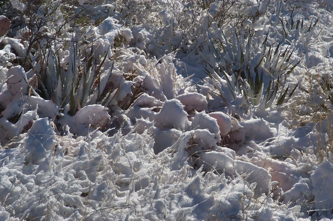 Agaves and cacti in snow near a road between White's City and Carlsbad Caverns. New Mexico
