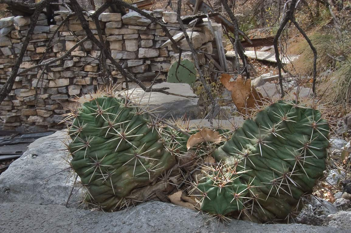 Echinocereus cacti growing on ruins of Hunter...Mountains National Park, Texas