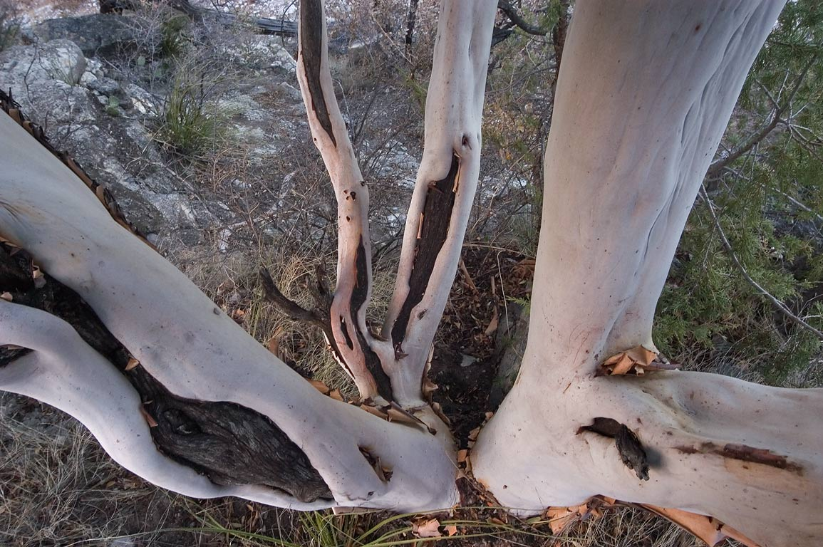 Texas madrone (Arbutus xalapensis) on Devils Hall...Mountains National Park, Texas