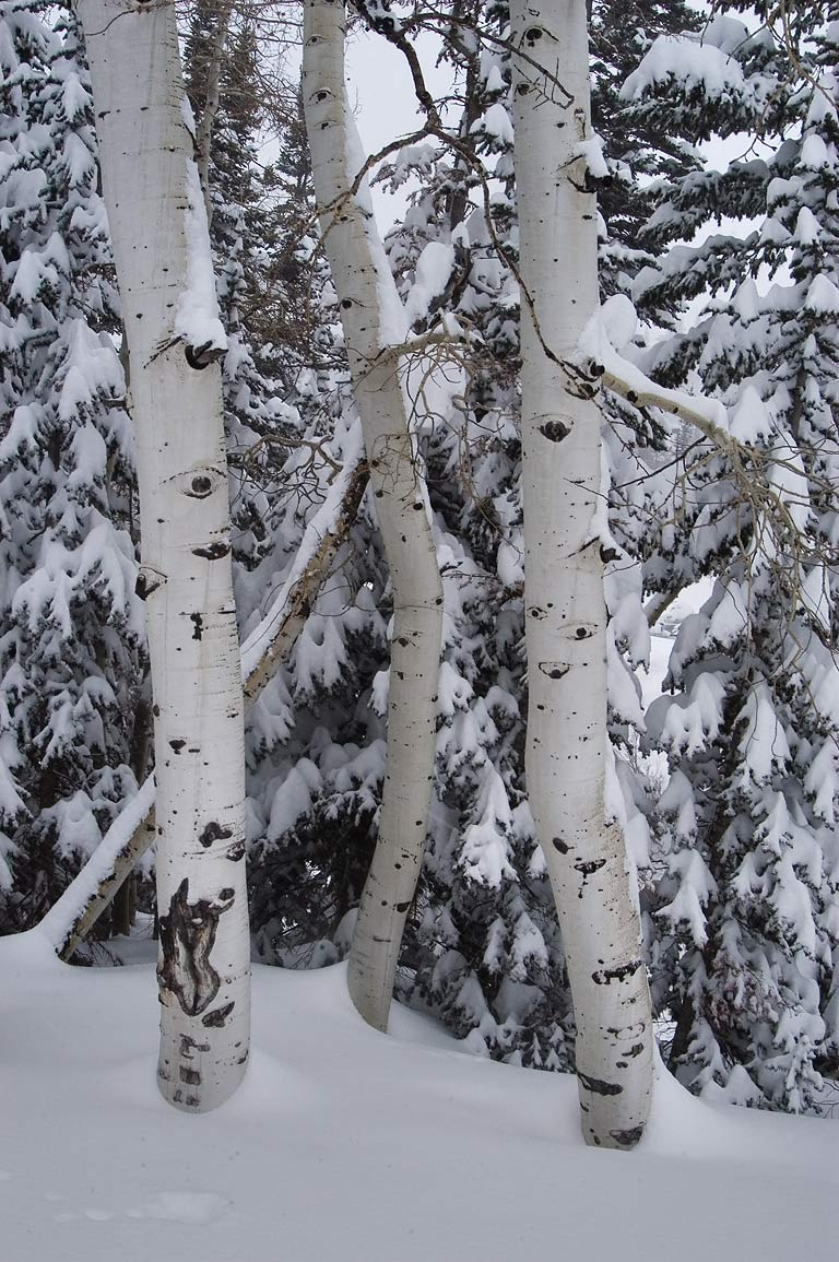 Aspens in Wasatch National Forest in snow in Snowbird Ski Area. Utah