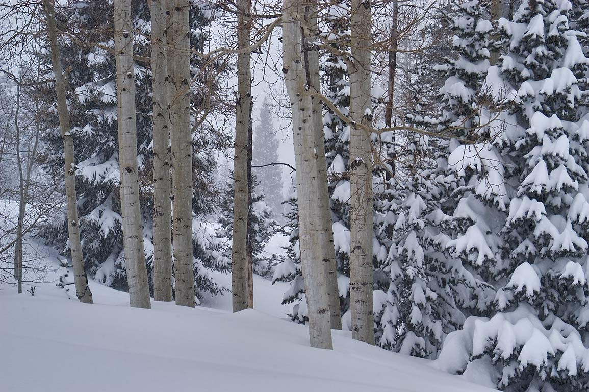Aspen trees in Wasatch National Forest in snow in Snowbird Ski Area. Utah