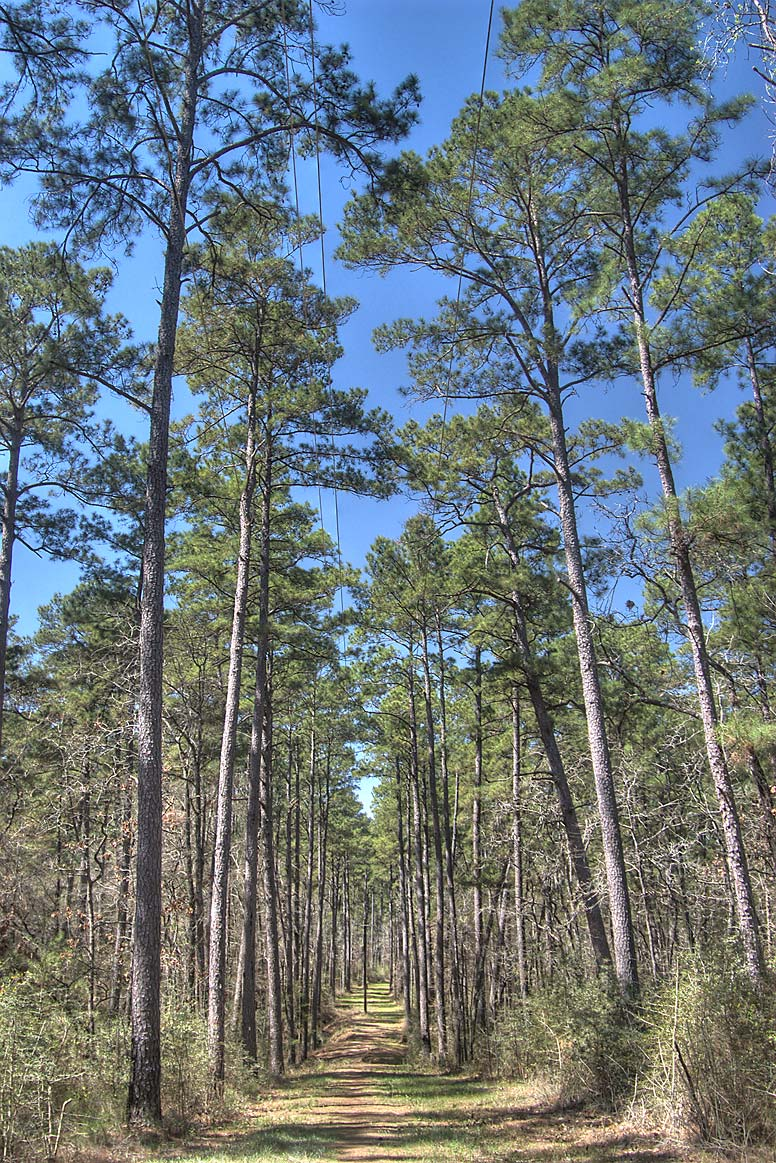 Pine forest at south part of Caney Creek Loop...Sam Houston Forest. Huntsville, Texas